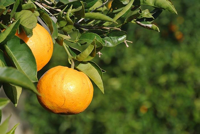 beste sonnengereifte Bio-Orangen aus Andalusien... wie aus der Werbung :-)