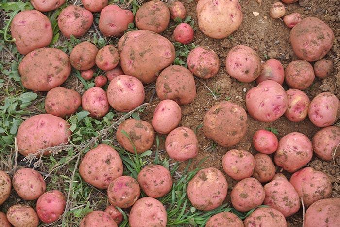 Patatas Rojas!