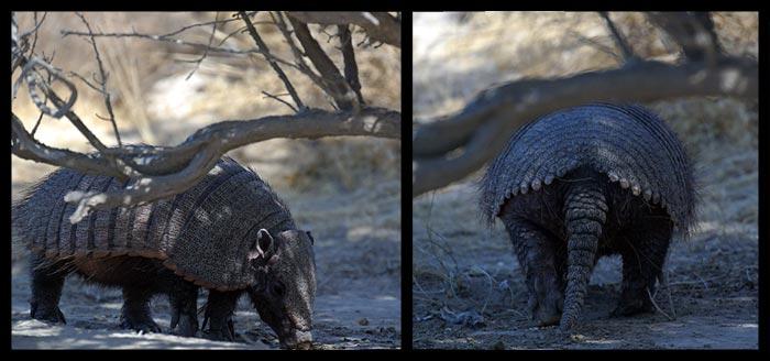 Wir sehen sogar ein echtes Gürteltier... ein richtiges Fossil unter den Säugetieren... für einen Biologiefan wie mich ist dass allein schon ein Traum!