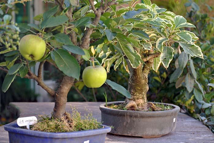Apfelbaumbonsai... da waren echte Äpfel drann :-)!