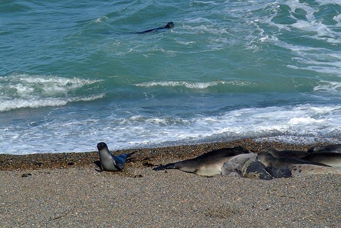Seeelefanten sind so ziemlich die faulsten Tiere die ich je gesehen hab... sie schlafen und  schlafen und schlafen... sind sie einmal wach, bewegen sie sich schwerfällig eineinhalb Meter weiter nur um an ihrem neuen Platz wieder einzuschlafen... was für ein Leben :-)