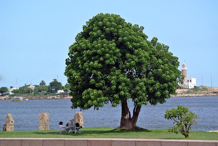 Montevideo-Baum