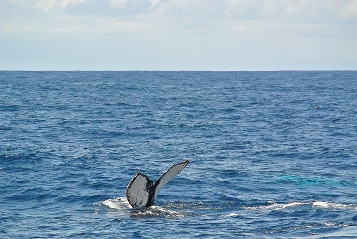 Jeder Buckelwal ist eindeutig an seiner Fluke erkennbar