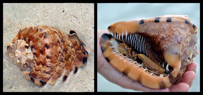 Dieses Prachtstück haben wir im knietiefen Wasser gefunden... da die Schnecke noch in ihrem Haus wohnen wollte haben wir die Muschel natürlich am nahegelegenen Korallenriff ausgesetzt!